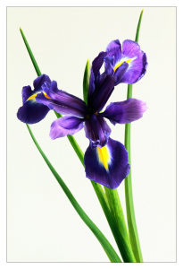 Custom Printed postcard printed with purple iris with green stems