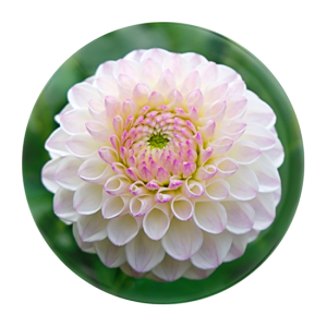 Custom Glass Paperweight - Deluxe Dome - Pink and white flower
